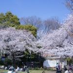 西郷山公園:会社でお花見